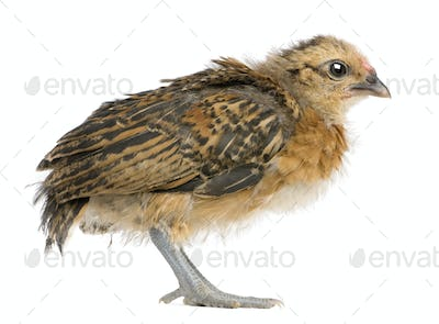 Chick, 19 days old, standing in front of white background