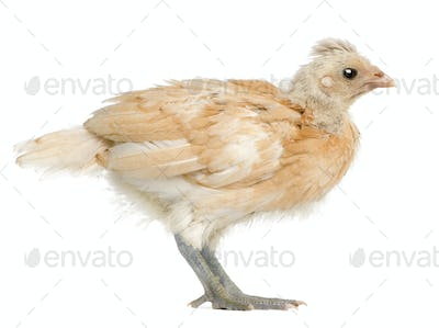 Polish Chicken, 21 days old, standing in front of white background