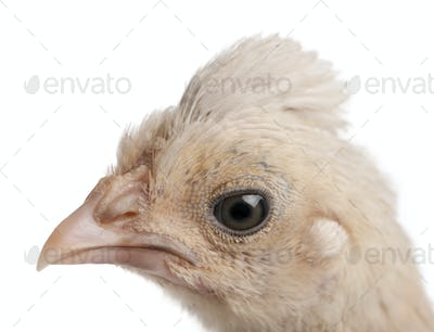 Close-up of Polish Chicken, 23 days old, in front of white background, studio shot