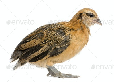 Chick, 25 days old, standing in front of white background