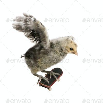 Baby chicken on skateboard in front of white background, studio shot