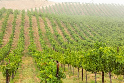 Grape Vine Vineyard Series