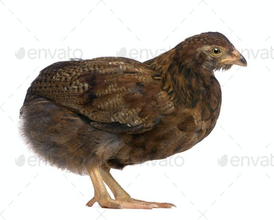Araucana, also known as a South American Rumpless, 44 days old, in front of white background