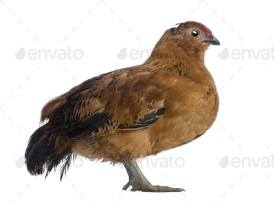 Chick, 44 days old, standing in front of white background