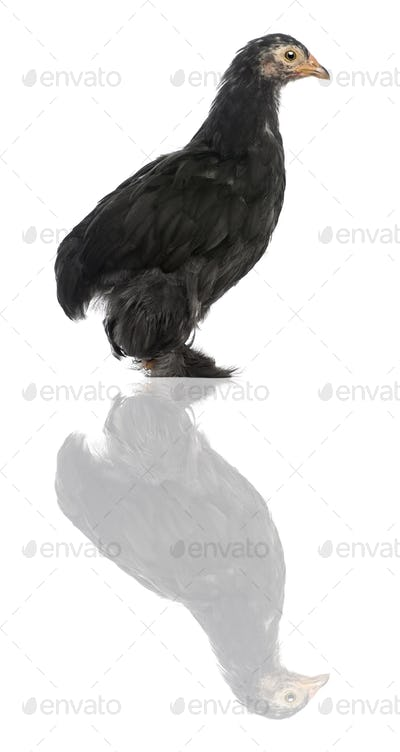 The Pekin, a breed of bantam chicken, 47 days old, standing in front of white background