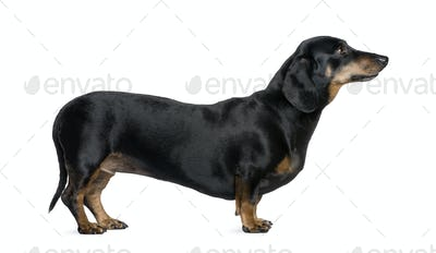Dachshund, 6 years old, standing in front of white background, studio shot
