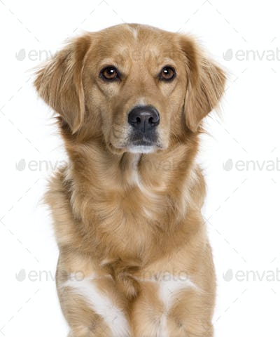 Nova Scotia Duck Rolling Retriever, 5 years old, in front of white background, studio shot