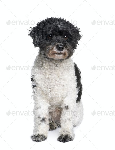 Harlequin poodle, 12 years old, in front of white background, studio shot