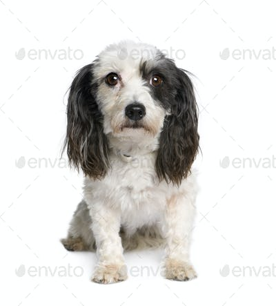 Harvanese Bichon, 4 years old, in front of white background, studio shot