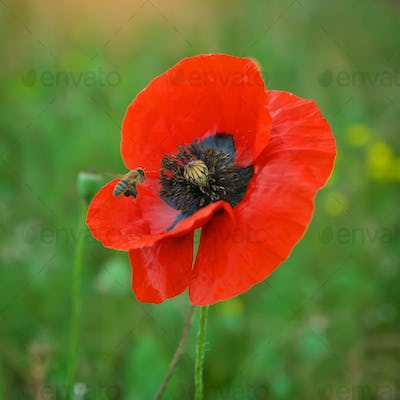 Bee and poppy flower.