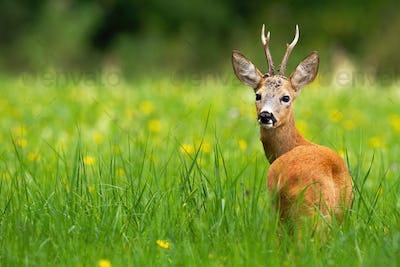 Roe deer buck looking behind on a green meadow with yellow flowers in summer