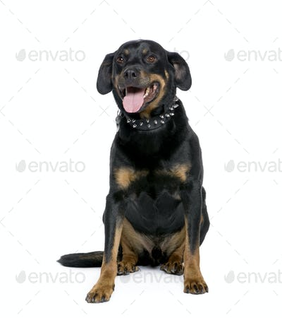Rottweiler, 6 years old, sitting in front of white background, studio shot