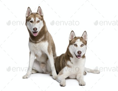 Husky dogs, 4 and 1 year old, sitting in front of white background, studio shot