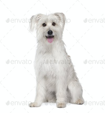 Pyrenean Shepherd, 2 years old, sitting in front of white background, studio shot