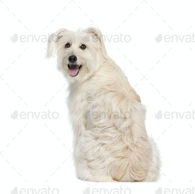 back view of a Pyrenean Shepherd, 2 years old, sitting in front of white background, studio shot