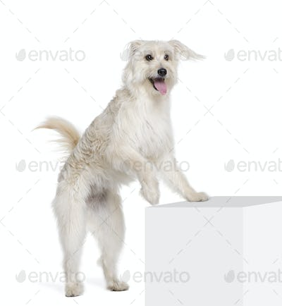 Pyrenean Shepherd, 2 years old, standing near pedestal in front of white background, studio shot