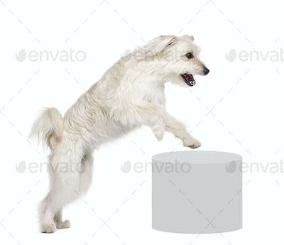 Pyrenean Shepherd, 2 years old, leaping near pedestal in front of white background, studio shot