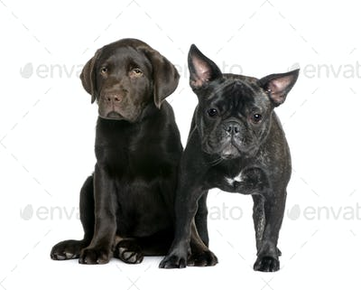 French Bulldog, 1 year old, and Labrador puppy, 10 weeks old, sitting in front of white background