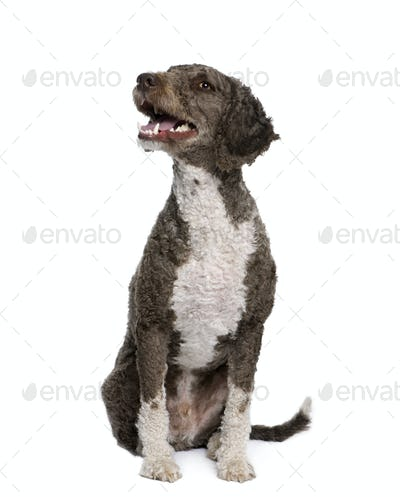 Spanish water spaniel dog, 3 years old, sitting in front of white background, studio shot