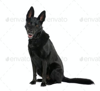 Bastard dog, 8 years old, sitting in front of white background, studio shot