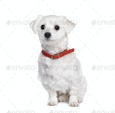 Maltese dog, Bichon, 4 years old, sitting in front of white background, studio shot