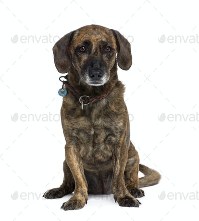 Old bastard dog, 10 years old, sitting in front of white background, studio shot