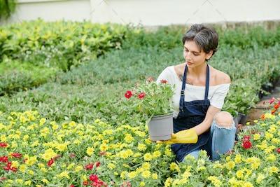 Female gardener pricking out blooming flowers