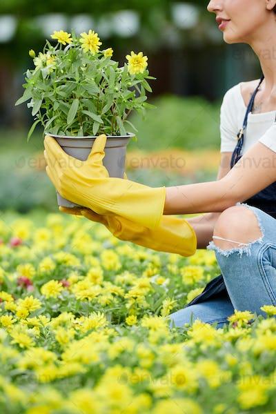 Woman choosing flowers in nursery garden