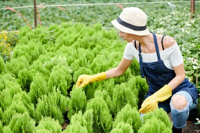 Gardening specialist checking cypress plants