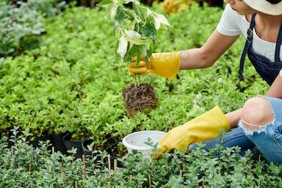 Gardener putting plant in pot