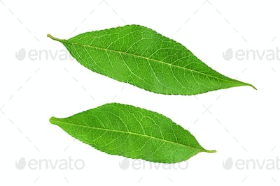 Two peach leaves isolated on white