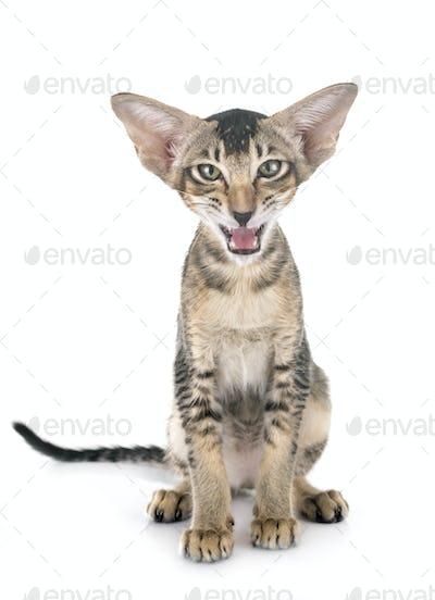 oriental kitten in studio
