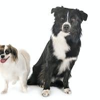 australian shepherd and phalene dog