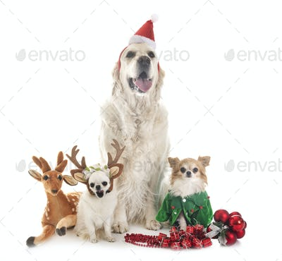 adult golden retriever and chihuahuas