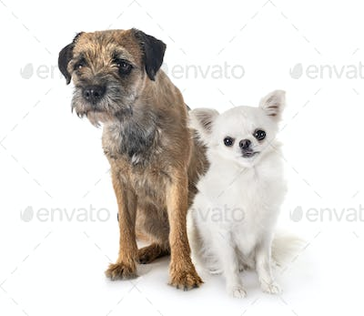 young border terrier and chihuahua