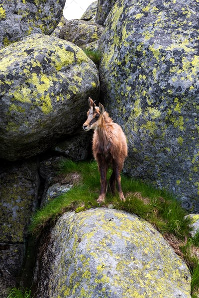 Chamois. Agile goat-antelope found in mountains of Europe.