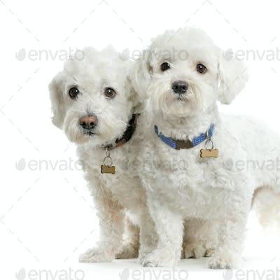 Couple de bichon maltais