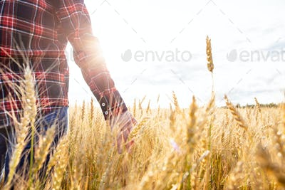 A farmer walks through a wheat field touches spikelets with his hand