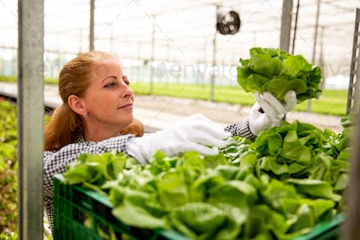 Working woman admires a salad plant while she puts it in the basket