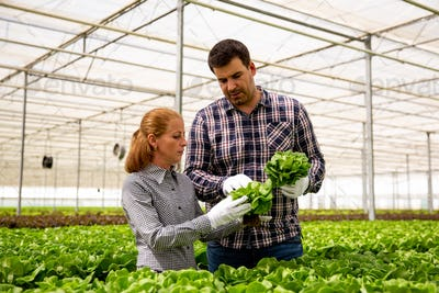Two researchers analyze salad plants in a modern greenhouse