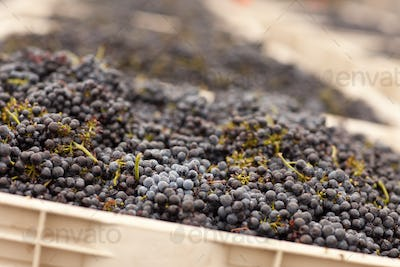 Lush Harvested Red Wine Grapes in Crates.