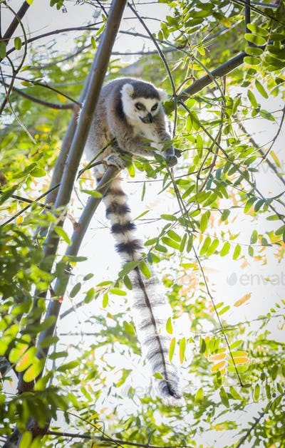 The Rare Lemur Feeding up in the Trees.