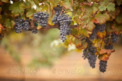 Lush, Ripe Wine Grapes on the Vine Ready for Harvest.