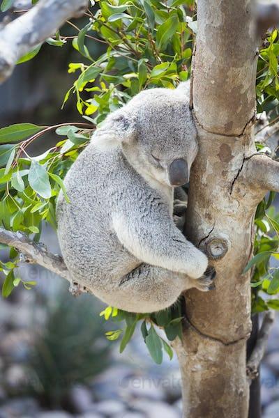 Sleeping Koala in a Tree.