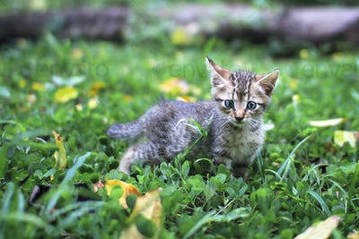Tabby Kitten Walking in the Garden
