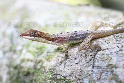 Slender Anole Lizard in Costa Rica