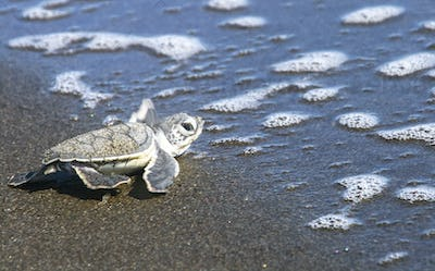 Baby Sea Turtle Reaching the Ocean