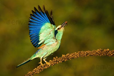 European roller taking off from dry plant looking upwards in summer