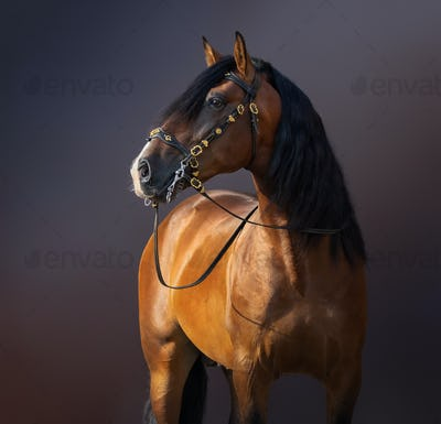 Spanish Horse in traditional baroque bridle on dark background.