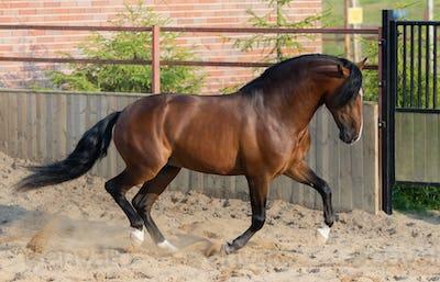 Bay Andalusian horse gallops in paddock.